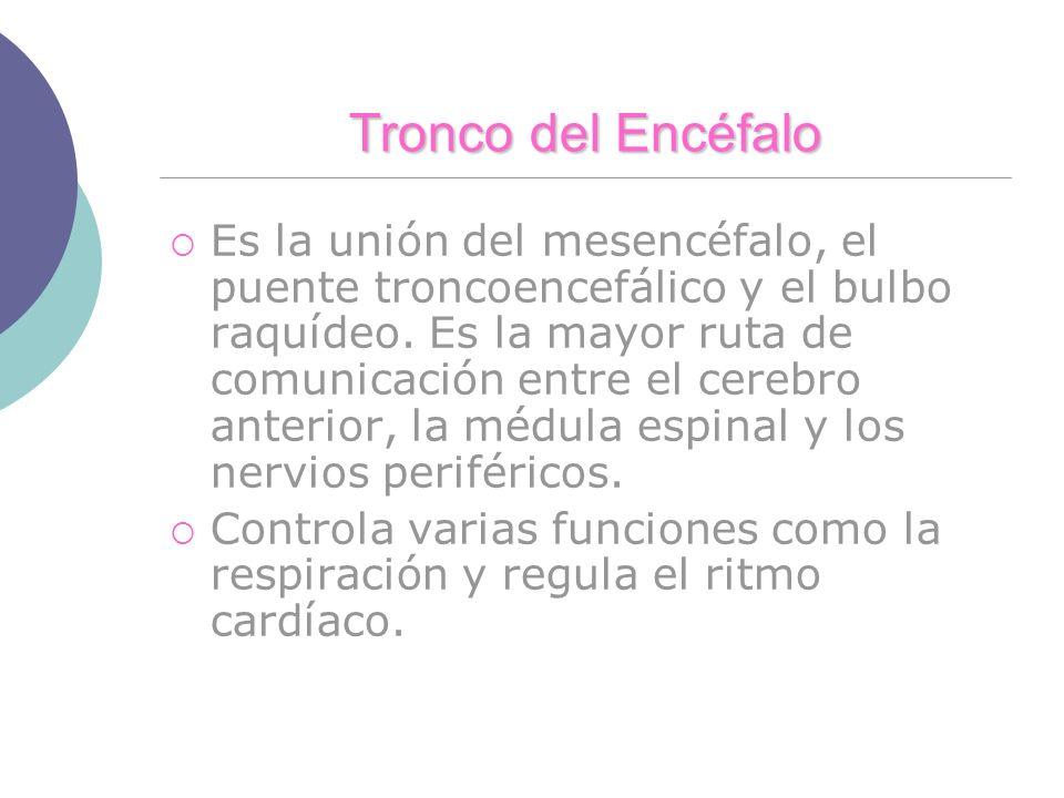 Tronco del Encéfalo Es la unión del mesencéfalo, el puente troncoencefálico y el bulbo raquídeo. Es la mayor ruta de comunicación entre el cerebro ant