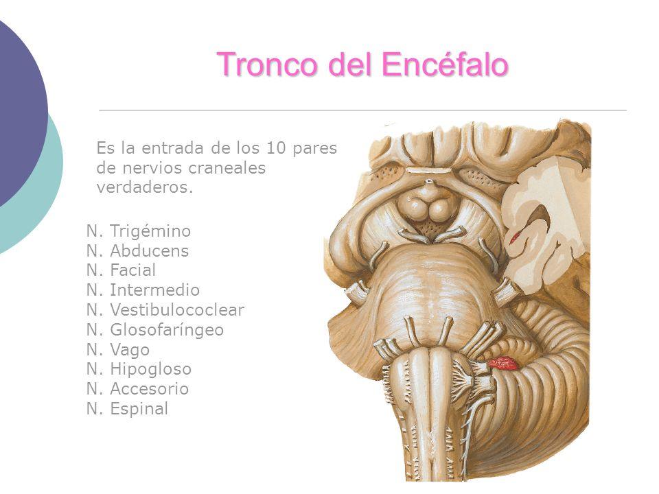 Tronco del Encéfalo Es la entrada de los 10 pares de nervios craneales verdaderos. N. Trigémino N. Abducens N. Facial N. Intermedio N. Vestibulococlea
