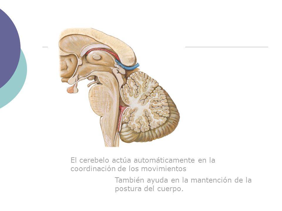 El cerebelo actúa automáticamente en la coordinación de los movimientos También ayuda en la mantención de la postura del cuerpo.