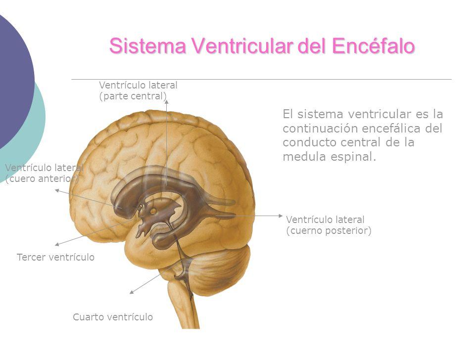 Sistema Ventricular del Encéfalo El sistema ventricular es la continuación encefálica del conducto central de la medula espinal. Ventrículo lateral (c