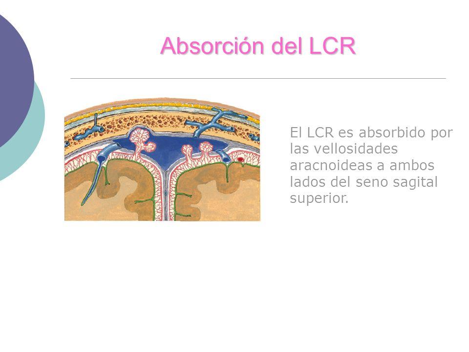 Absorción del LCR El LCR es absorbido por las vellosidades aracnoideas a ambos lados del seno sagital superior.