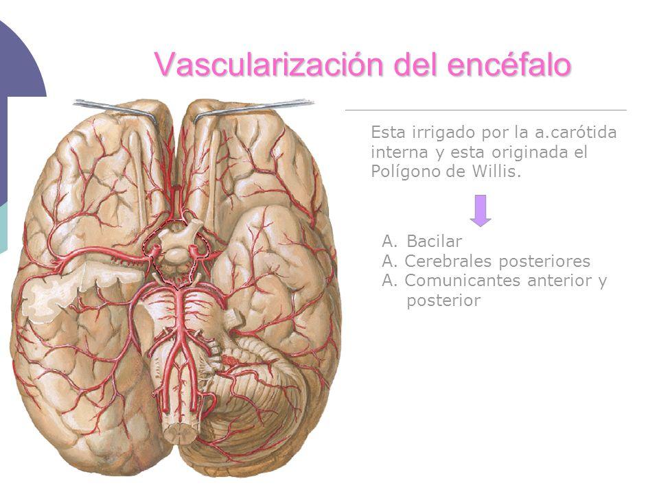 Vascularización del encéfalo Esta irrigado por la a.carótida interna y esta originada el Polígono de Willis. A.Bacilar A. Cerebrales posteriores A. Co