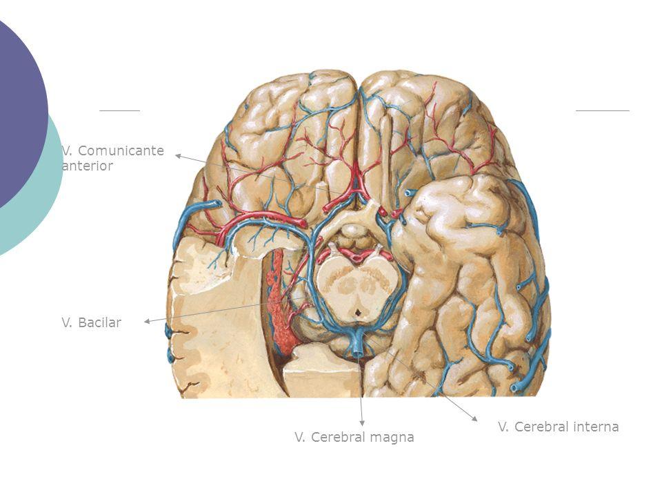V. Cerebral magna V. Cerebral interna V. Bacilar V. Comunicante anterior