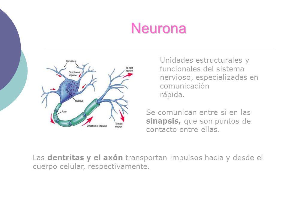 Neurona Unidades estructurales y funcionales del sistema nervioso, especializadas en comunicación rápida. Se comunican entre si en las sinapsis, que s