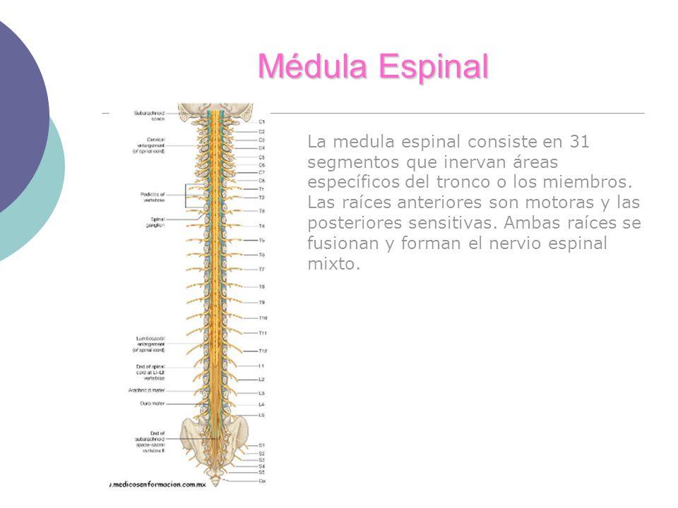 Médula Espinal La medula espinal consiste en 31 segmentos que inervan áreas específicos del tronco o los miembros. Las raíces anteriores son motoras y