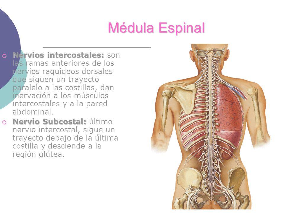 Médula Espinal Nervios intercostales: Nervios intercostales: son las ramas anteriores de los nervios raquídeos dorsales que siguen un trayecto paralelo a las costillas, dan inervación a los músculos intercostales y a la pared abdominal.