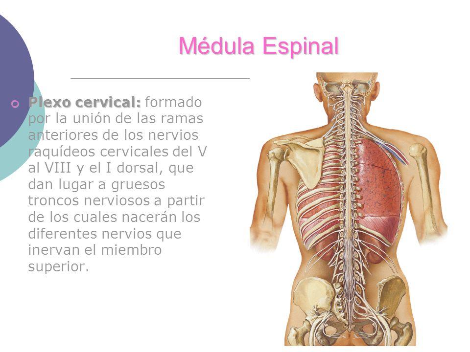 Médula Espinal Plexo cervical: Plexo cervical: formado por la unión de las ramas anteriores de los nervios raquídeos cervicales del V al VIII y el I dorsal, que dan lugar a gruesos troncos nerviosos a partir de los cuales nacerán los diferentes nervios que inervan el miembro superior.
