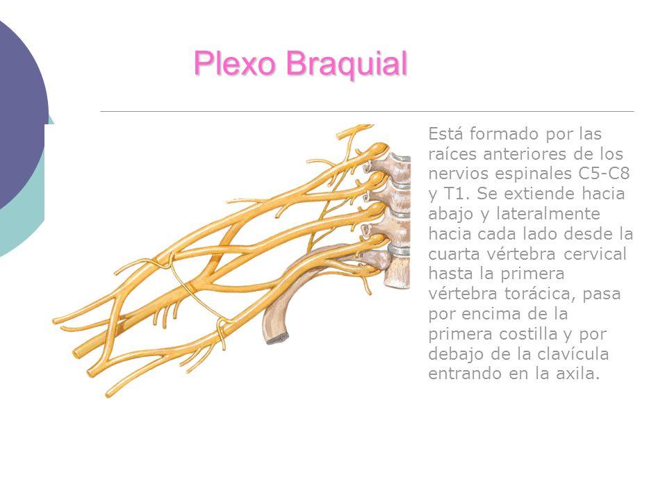 Plexo Braquial Está formado por las raíces anteriores de los nervios espinales C5-C8 y T1. Se extiende hacia abajo y lateralmente hacia cada lado desd