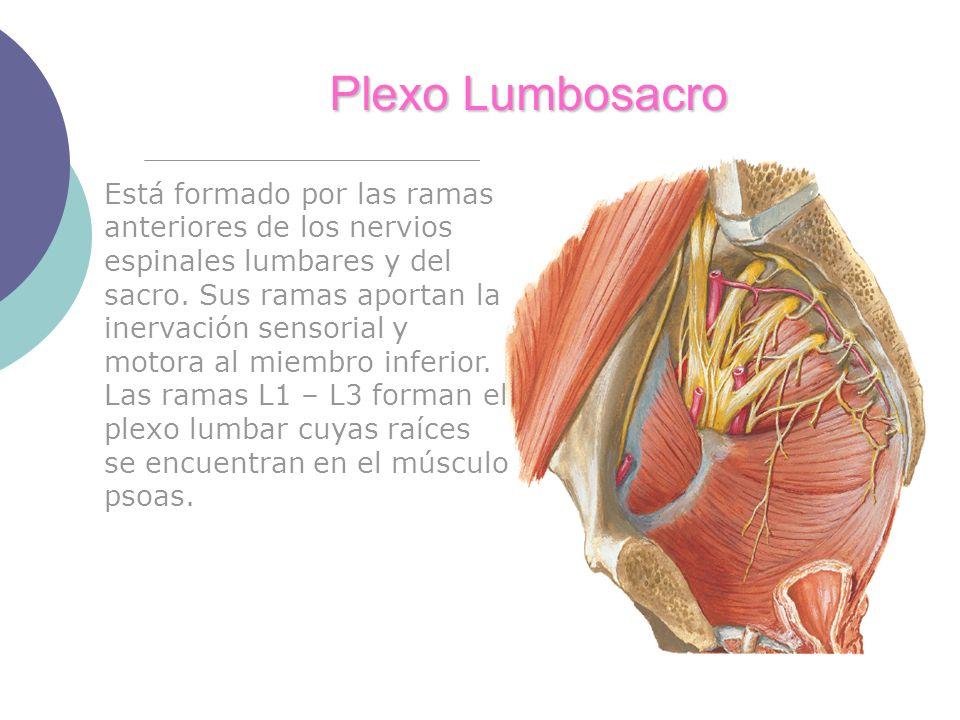 Plexo Lumbosacro Está formado por las ramas anteriores de los nervios espinales lumbares y del sacro. Sus ramas aportan la inervación sensorial y moto