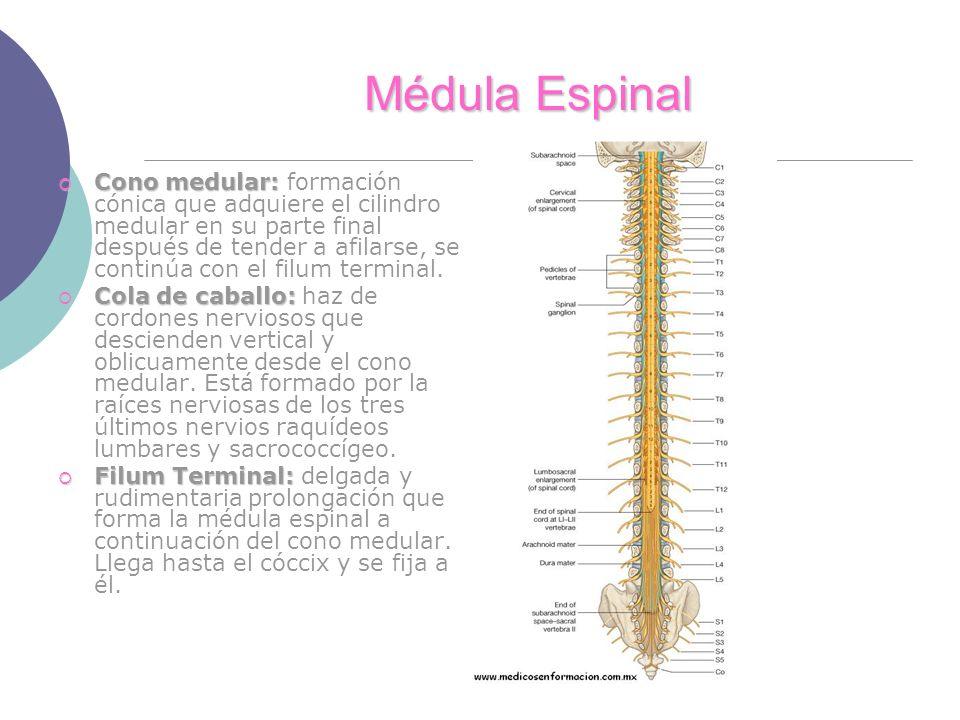 Médula Espinal Cono medular: Cono medular: formación cónica que adquiere el cilindro medular en su parte final después de tender a afilarse, se continúa con el filum terminal.