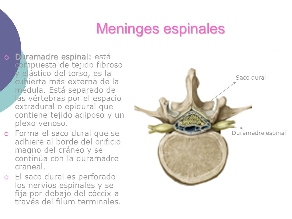 Meninges espinales Duramadre espinal: Duramadre espinal: está compuesta de tejido fibroso y elástico del torso, es la cubierta más externa de la médul