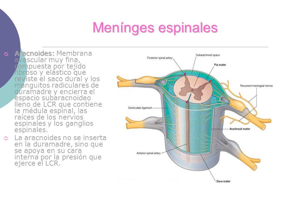 Menínges espinales Aracnoides: Aracnoides: Membrana avascular muy fina, compuesta por tejido fibroso y elástico que reviste el saco dural y los manguitos radiculares de duramadre y encierra el espacio subaracnoideo lleno de LCR que contiene la médula espinal, las raíces de los nervios espinales y los ganglios espinales.