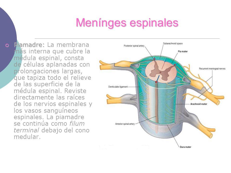 Menínges espinales Piamadre: Piamadre: La membrana más interna que cubre la médula espinal, consta de células aplanadas con prolongaciones largas, que tapiza todo el relieve de las superficie de la médula espinal.