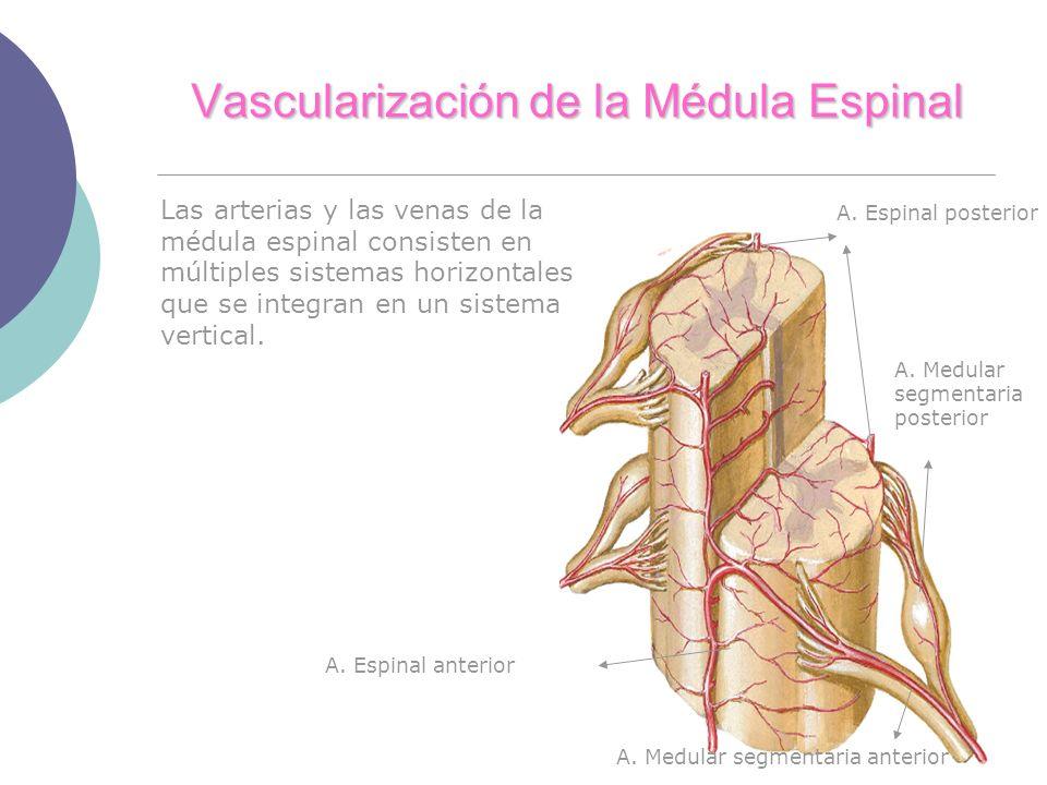 Vascularización de la Médula Espinal Las arterias y las venas de la médula espinal consisten en múltiples sistemas horizontales que se integran en un sistema vertical.