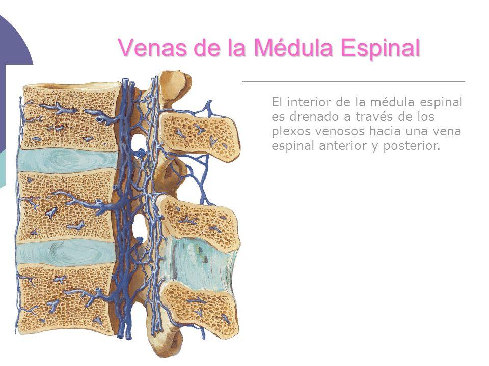 Venas de la Médula Espinal El interior de la médula espinal es drenado a través de los plexos venosos hacia una vena espinal anterior y posterior.