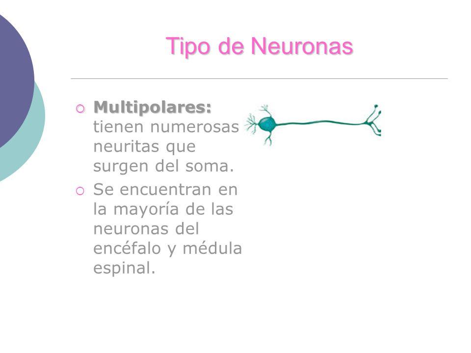 Tipo de Neuronas Multipolares: Multipolares: tienen numerosas neuritas que surgen del soma. Se encuentran en la mayoría de las neuronas del encéfalo y