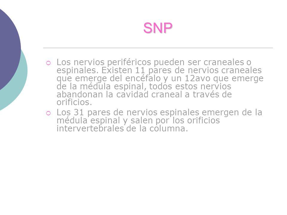 SNP Los nervios periféricos pueden ser craneales o espinales. Existen 11 pares de nervios craneales que emerge del encéfalo y un 12avo que emerge de l