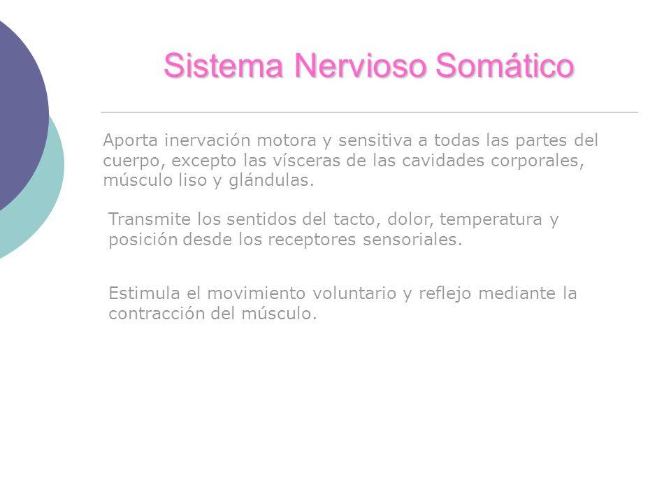 Sistema Nervioso Somático Aporta inervación motora y sensitiva a todas las partes del cuerpo, excepto las vísceras de las cavidades corporales, múscul