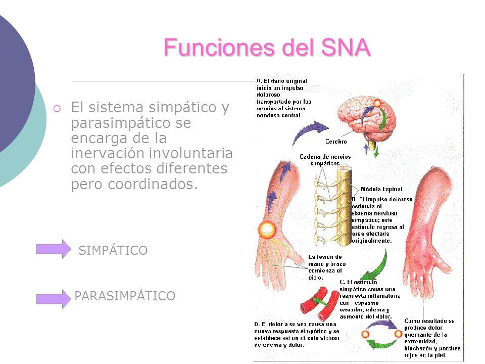 Funciones del SNA El sistema simpático y parasimpático se encarga de la inervación involuntaria con efectos diferentes pero coordinados. SIMPÁTICO PAR