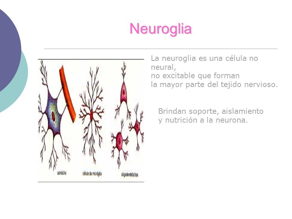 Neuroglia La neuroglia es una célula no neural, no excitable que forman la mayor parte del tejido nervioso. Brindan soporte, aislamiento y nutrición a