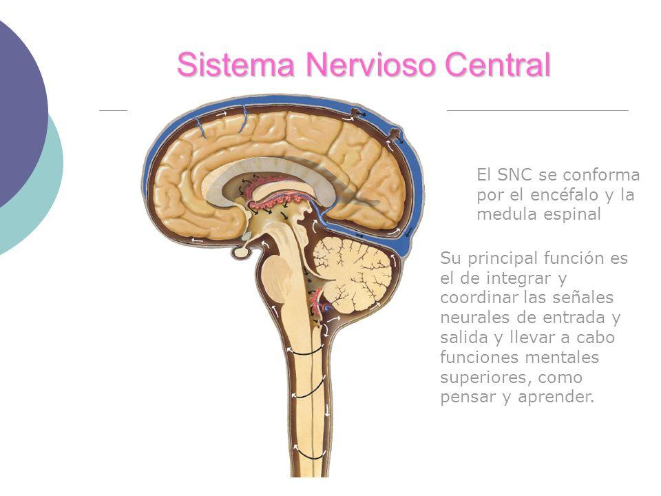 Sistema Nervioso Central El SNC se conforma por el encéfalo y la medula espinal Su principal función es el de integrar y coordinar las señales neurales de entrada y salida y llevar a cabo funciones mentales superiores, como pensar y aprender.