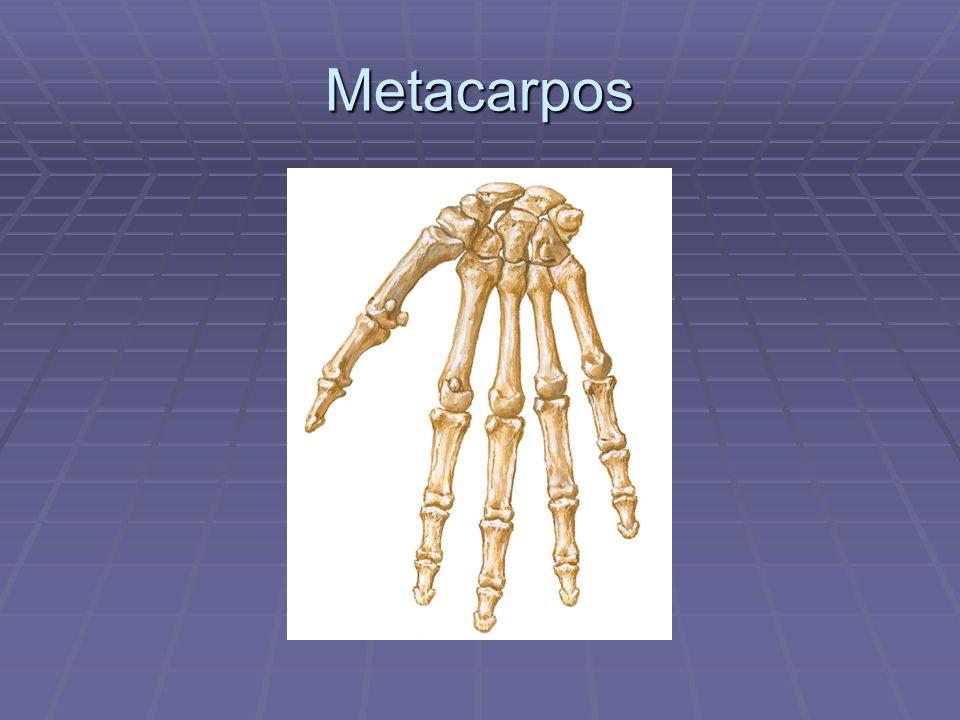 Metacarpos