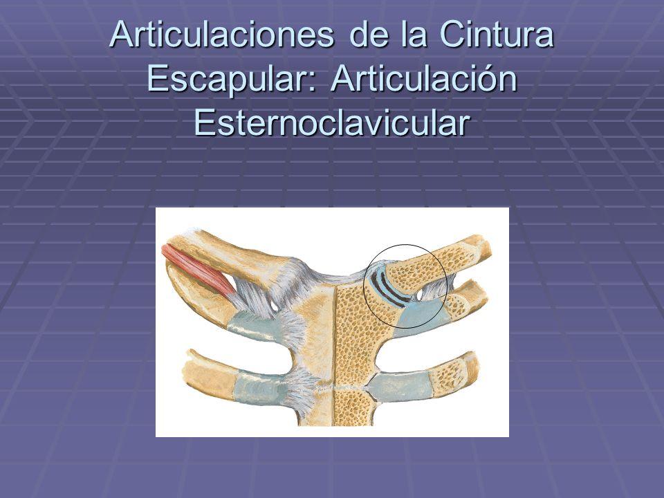 Articulaciones de la Cintura Escapular: Articulación Esternoclavicular