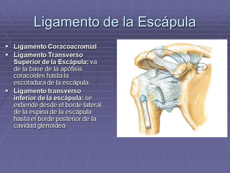 Ligamento de la Escápula Ligamento Coracoacromial Ligamento Coracoacromial Ligamento Transverso Superior de la Escápula: va de la base de la apófisis