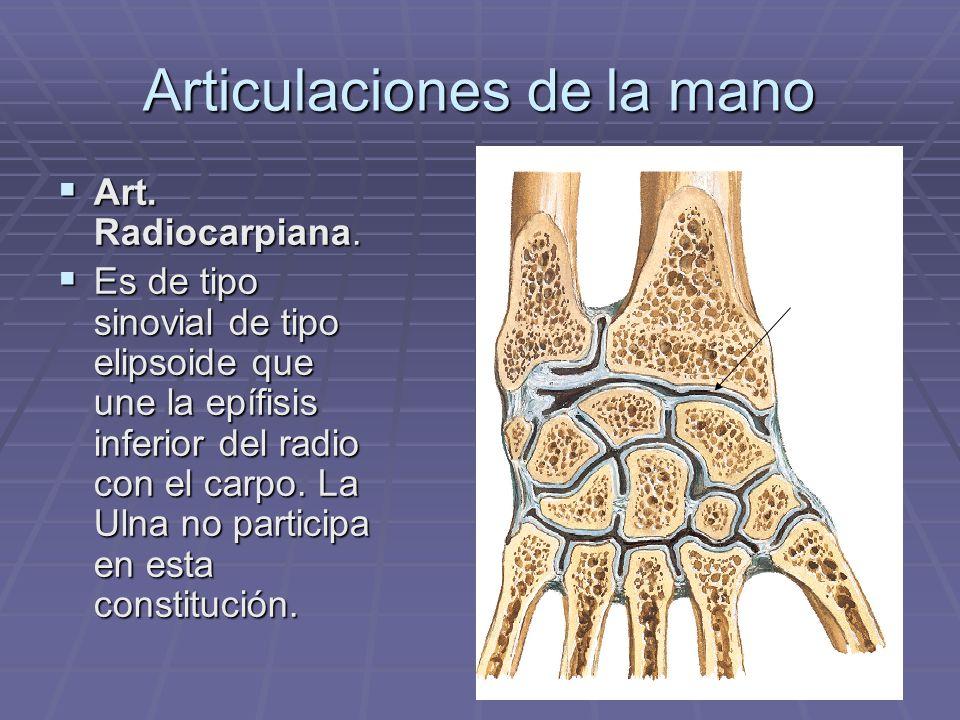 Articulaciones de la mano Art. Radiocarpiana. Art. Radiocarpiana. Es de tipo sinovial de tipo elipsoide que une la epífisis inferior del radio con el