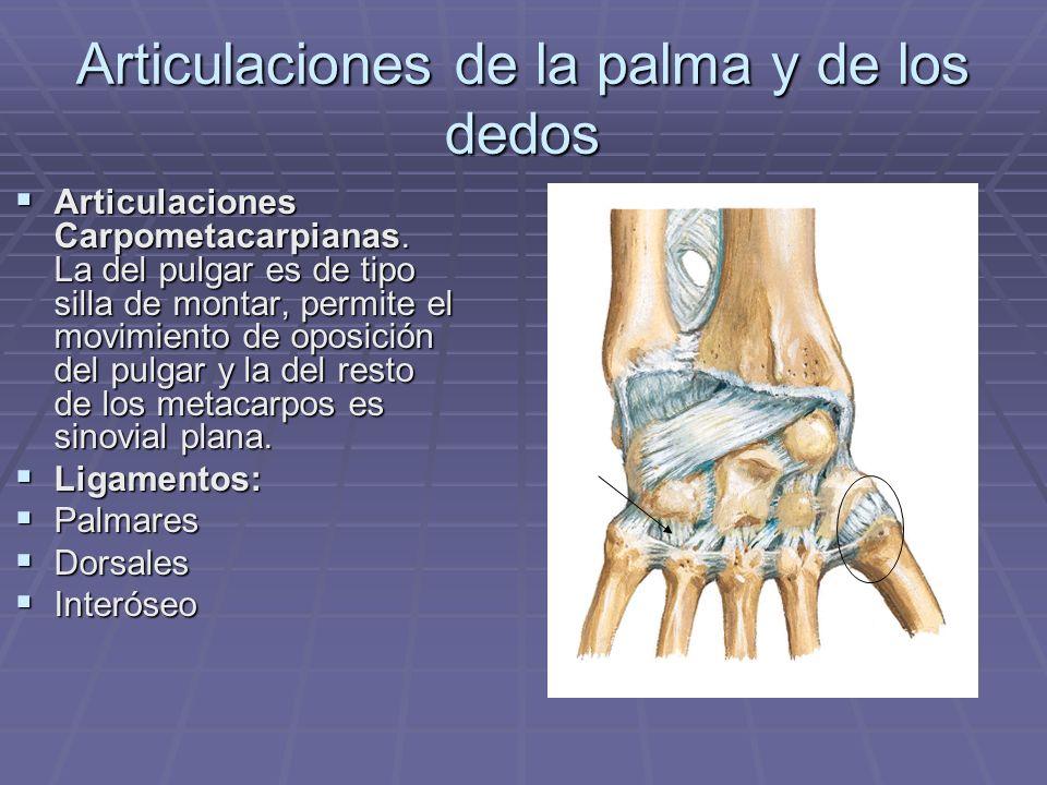 Articulaciones de la palma y de los dedos Articulaciones Carpometacarpianas. La del pulgar es de tipo silla de montar, permite el movimiento de oposic