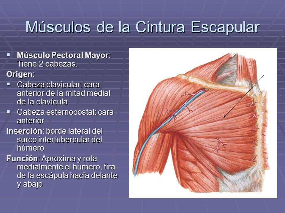 Músculos de la Cintura Escapular Músculo Pectoral Mayor: Tiene 2 cabezas. Músculo Pectoral Mayor: Tiene 2 cabezas. Origen: Cabeza clavicular: cara ant