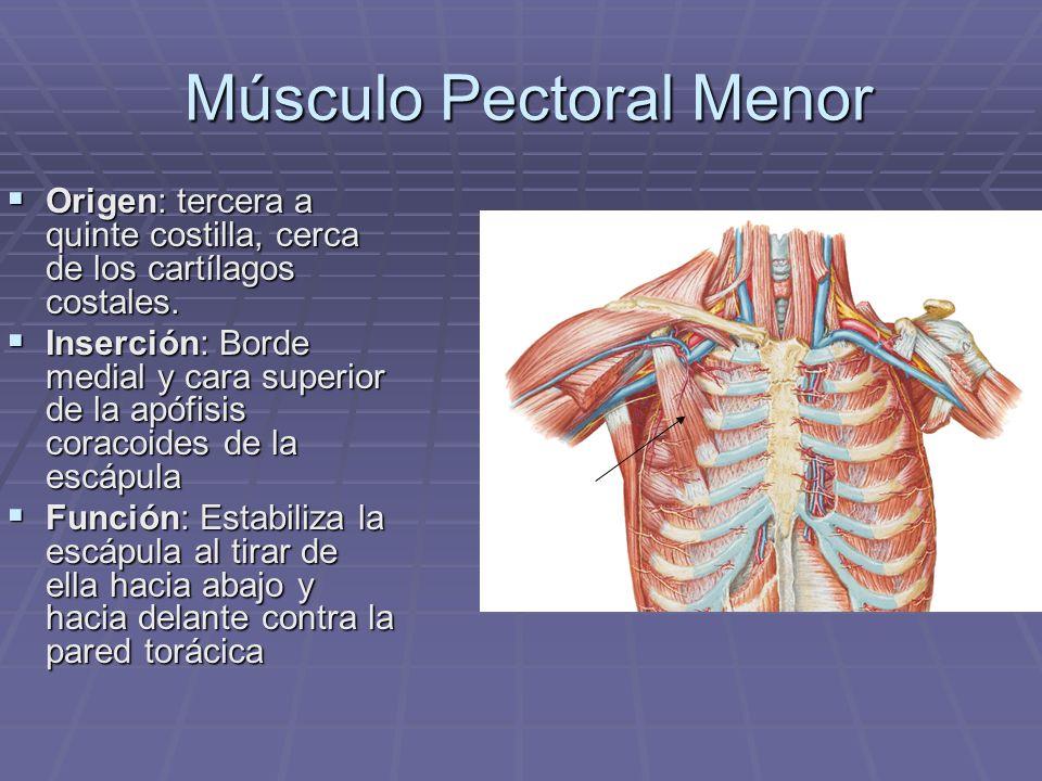 Músculo Pectoral Menor Músculo Pectoral Menor Origen: tercera a quinte costilla, cerca de los cartílagos costales. Origen: tercera a quinte costilla,