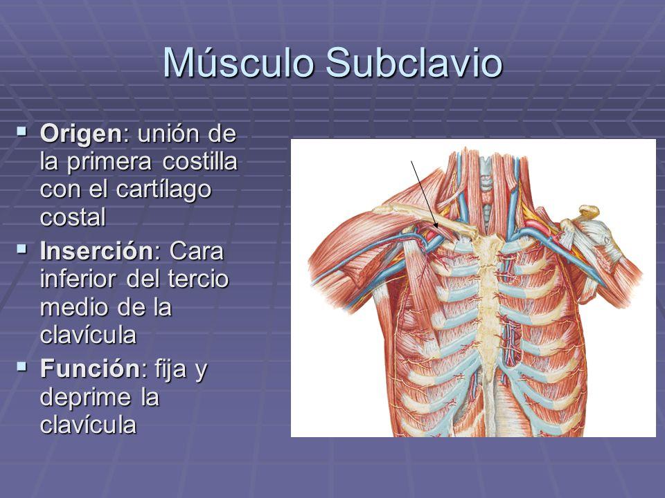 Músculo Subclavio Origen: unión de la primera costilla con el cartílago costal Origen: unión de la primera costilla con el cartílago costal Inserción: