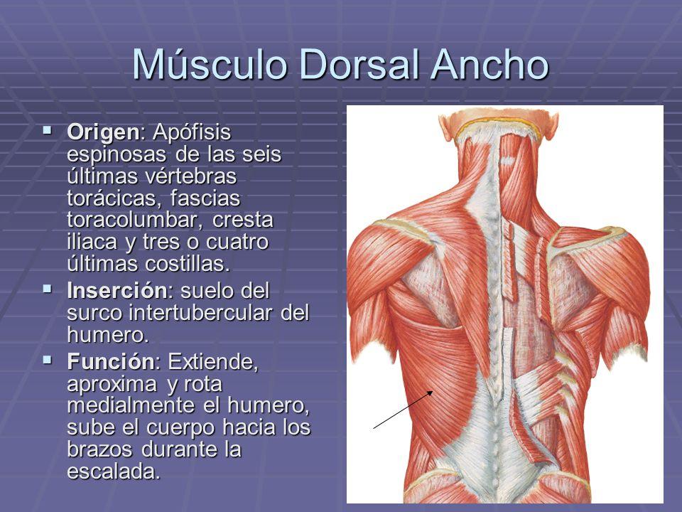 Músculo Dorsal Ancho Origen: Apófisis espinosas de las seis últimas vértebras torácicas, fascias toracolumbar, cresta iliaca y tres o cuatro últimas c