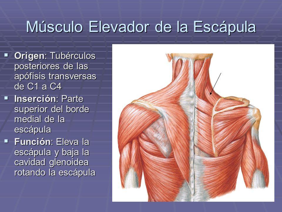 Músculo Elevador de la Escápula Origen: Tubérculos posteriores de las apófisis transversas de C1 a C4 Origen: Tubérculos posteriores de las apófisis t