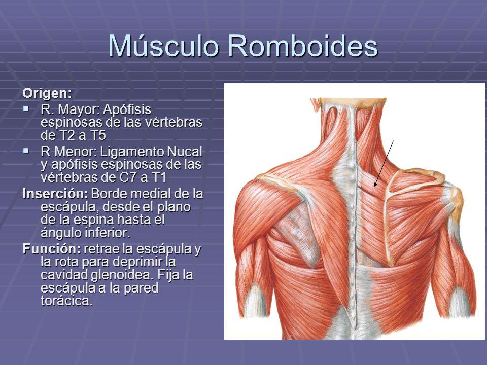 Músculo Romboides Origen: R. Mayor: Apófisis espinosas de las vértebras de T2 a T5 R. Mayor: Apófisis espinosas de las vértebras de T2 a T5 R Menor: L
