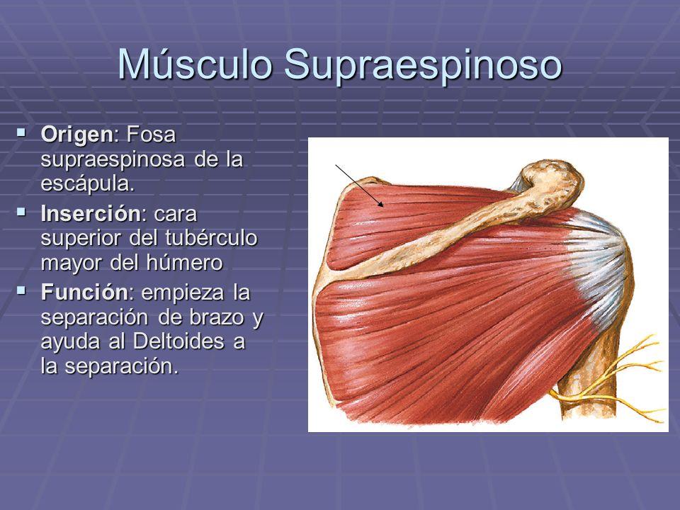 Músculo Supraespinoso Origen: Fosa supraespinosa de la escápula. Origen: Fosa supraespinosa de la escápula. Inserción: cara superior del tubérculo may
