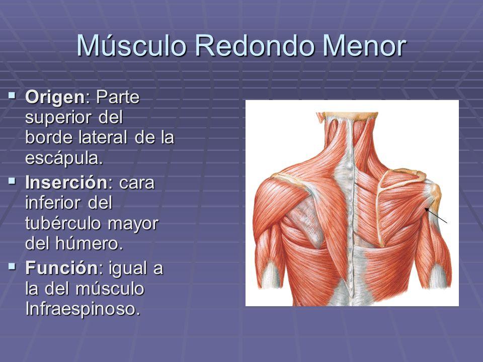 Músculo Redondo Menor Origen: Parte superior del borde lateral de la escápula. Origen: Parte superior del borde lateral de la escápula. Inserción: car