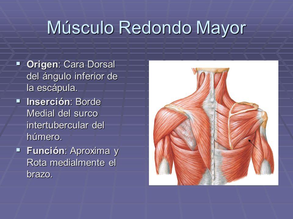 Músculo Redondo Mayor Origen: Cara Dorsal del ángulo inferior de la escápula. Origen: Cara Dorsal del ángulo inferior de la escápula. Inserción: Borde