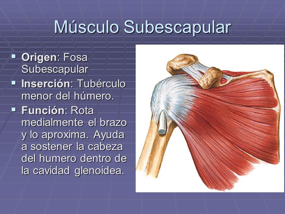 Músculo Subescapular Origen: Fosa Subescapular Origen: Fosa Subescapular Inserción: Tubérculo menor del húmero. Inserción: Tubérculo menor del húmero.