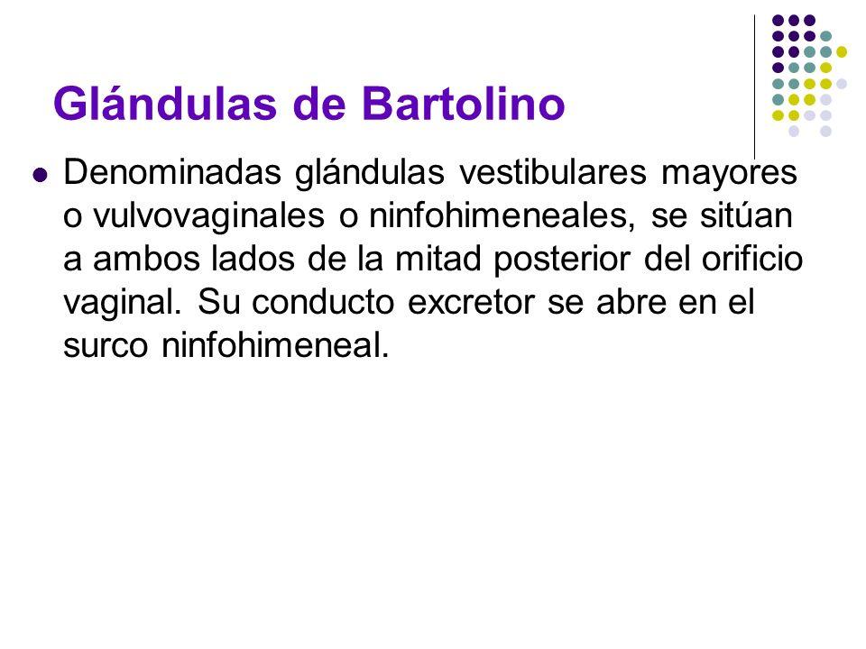 Glándulas de Bartolino Denominadas glándulas vestibulares mayores o vulvovaginales o ninfohimeneales, se sitúan a ambos lados de la mitad posterior de