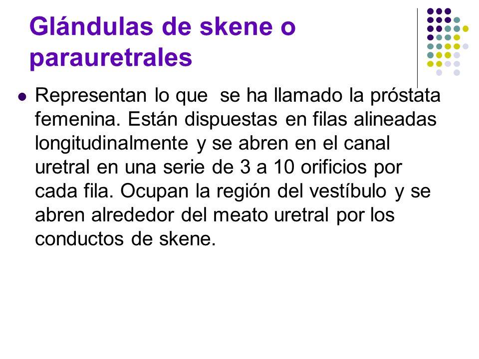 Glándulas de skene o parauretrales Representan lo que se ha llamado la próstata femenina. Están dispuestas en filas alineadas longitudinalmente y se a
