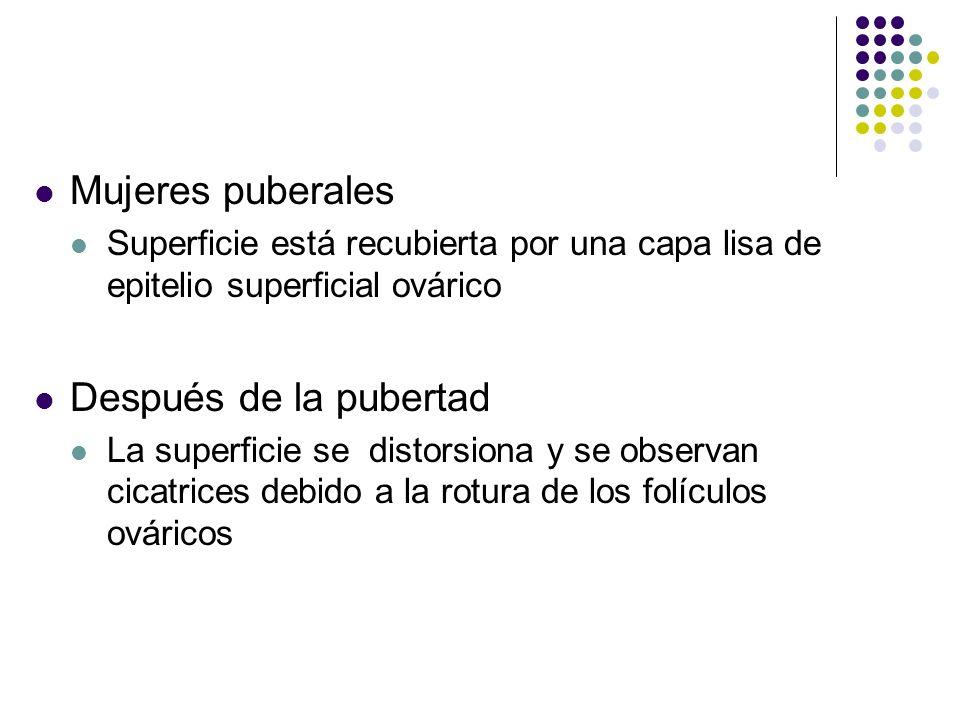Mujeres puberales Superficie está recubierta por una capa lisa de epitelio superficial ovárico Después de la pubertad La superficie se distorsiona y s