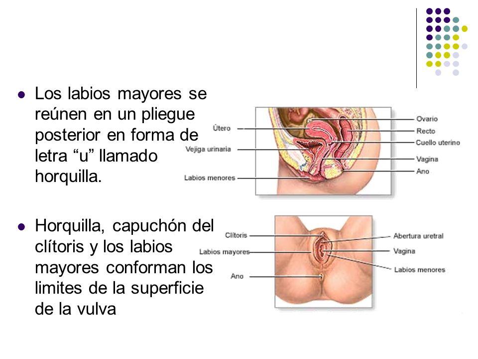 Los labios mayores se reúnen en un pliegue posterior en forma de letra u llamado horquilla. Horquilla, capuchón del clítoris y los labios mayores conf
