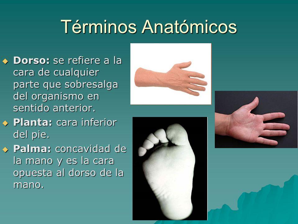 Términos Anatómicos Dorso: se refiere a la cara de cualquier parte que sobresalga del organismo en sentido anterior. Dorso: se refiere a la cara de cu