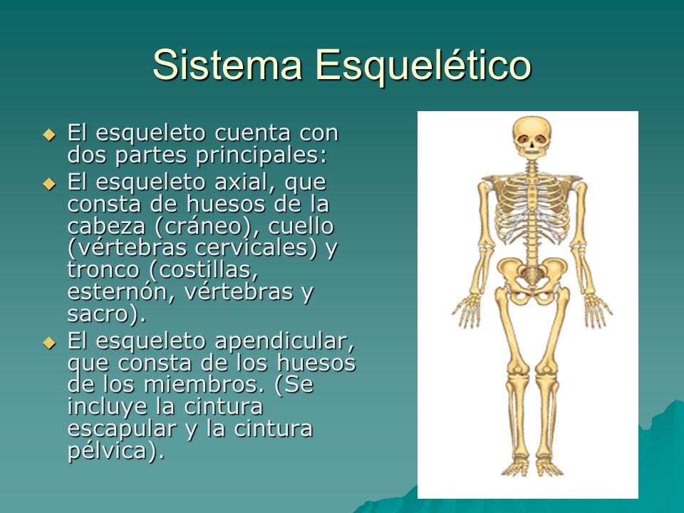 Sistema Esquelético El esqueleto cuenta con dos partes principales: El esqueleto cuenta con dos partes principales: El esqueleto axial, que consta de