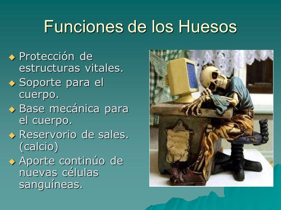 Funciones de los Huesos Protección de estructuras vitales. Protección de estructuras vitales. Soporte para el cuerpo. Soporte para el cuerpo. Base mec