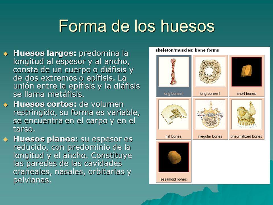Forma de los huesos Huesos largos: predomina la longitud al espesor y al ancho, consta de un cuerpo o diáfisis y de dos extremos o epífisis. La unión