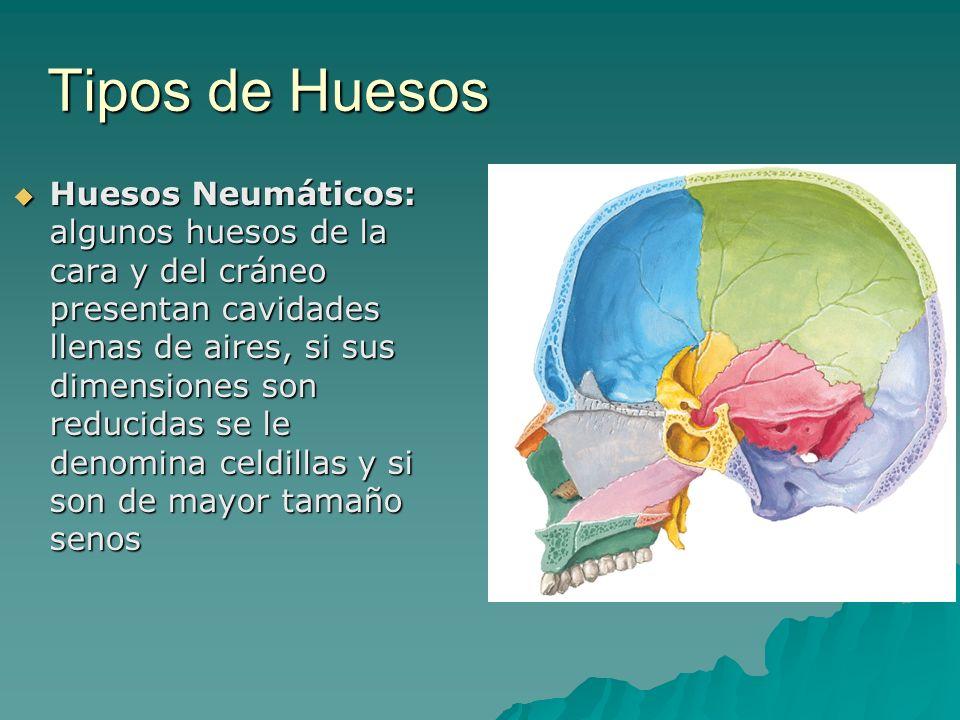 Tipos de Huesos Huesos Neumáticos: algunos huesos de la cara y del cráneo presentan cavidades llenas de aires, si sus dimensiones son reducidas se le