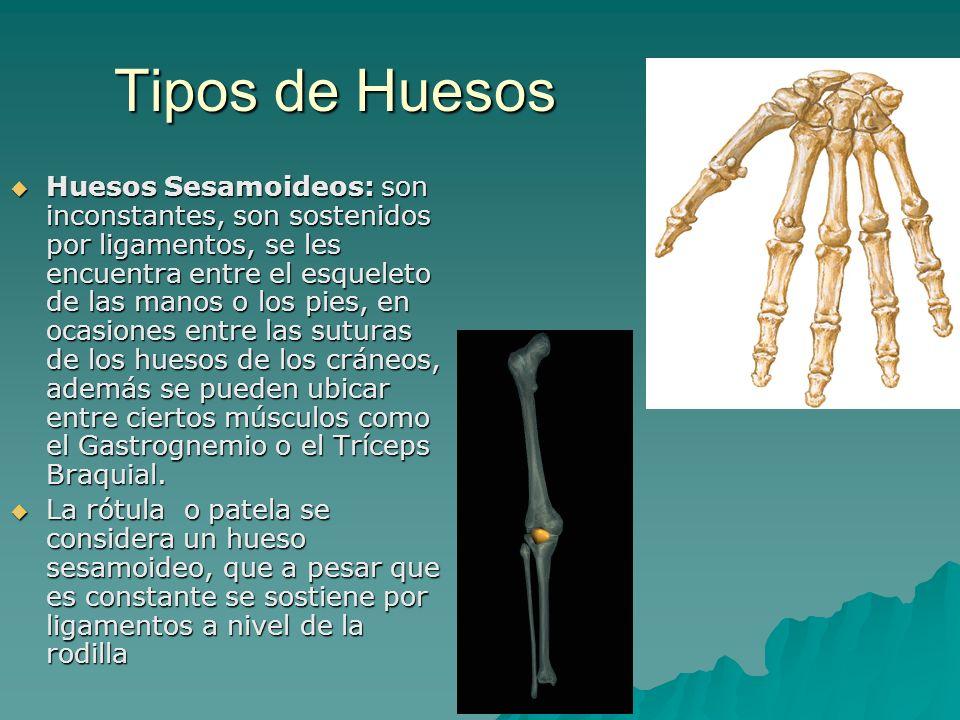 Tipos de Huesos Huesos Sesamoideos: son inconstantes, son sostenidos por ligamentos, se les encuentra entre el esqueleto de las manos o los pies, en o